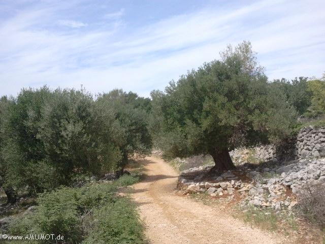 Die Olivenbäume von Pag - Reistipp