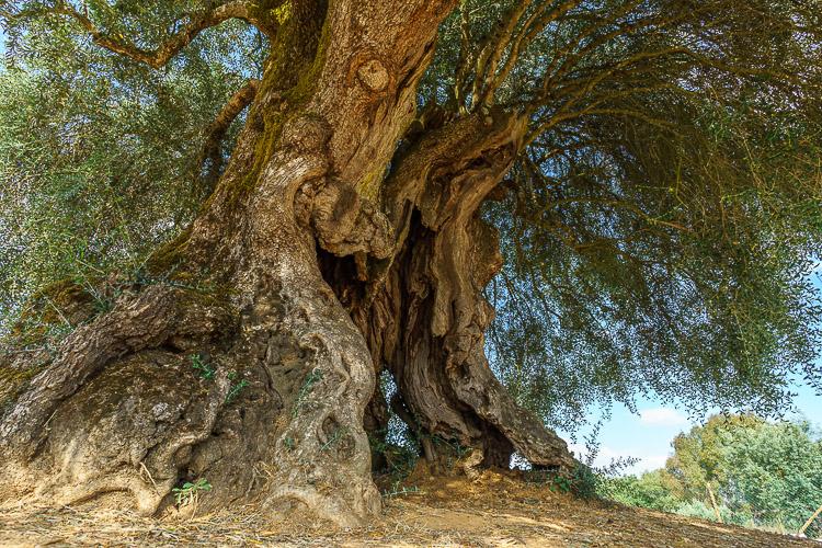 ältester Baum Portugals
