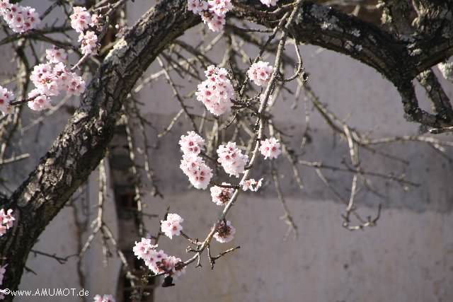 madelbäume blühen im januar
