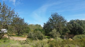 Olivenhaine an der Alagrve