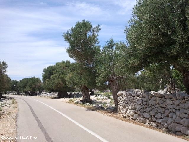 Die alten Olivenbäume auf Pag bei Lun