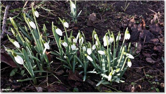 Hier finde ich auch den ersten Frühlingsboten.