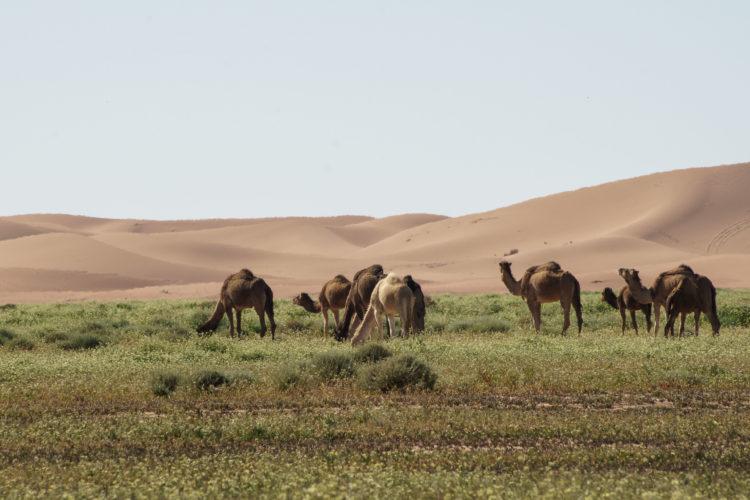 Kamele in Erg Chegaga