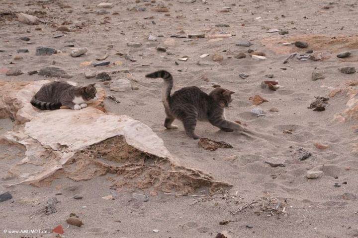 katzen spielen am strand