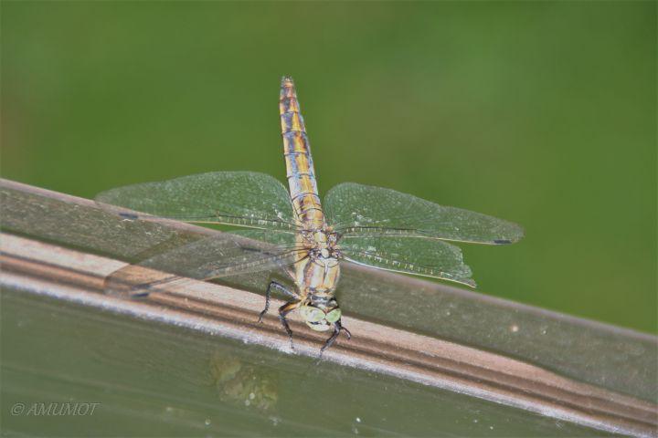 Libelle mit Flügelschaden. Konnte aber trotzdem einwandfrei fliegen.