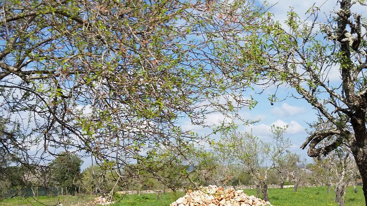 Mandelblüte Ende