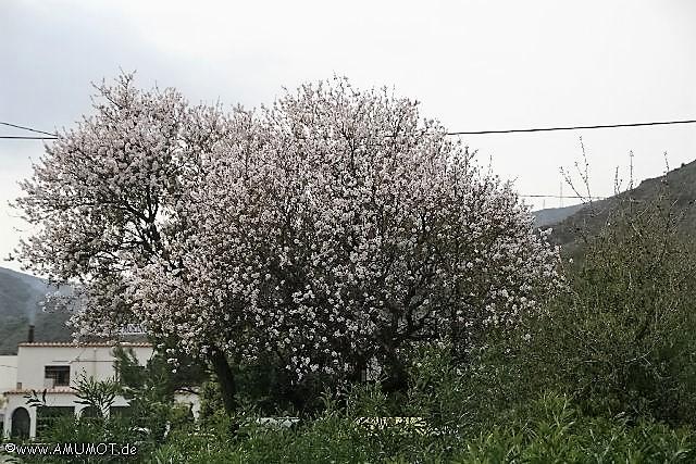 Spanische Mandelblüte