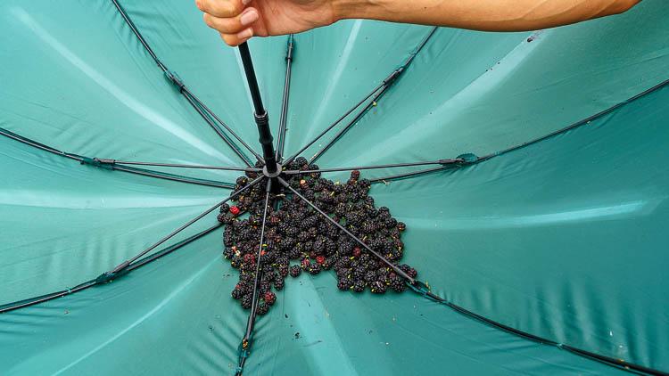 Maulbeeren im Schirm