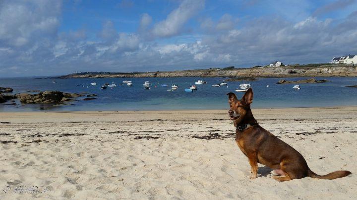 Strandhund an der Bretagne