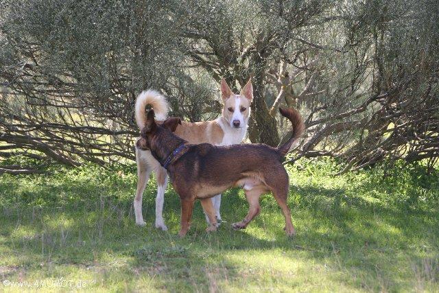spielenede hunde