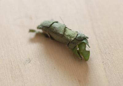 Nest Blattschneiderbiene
