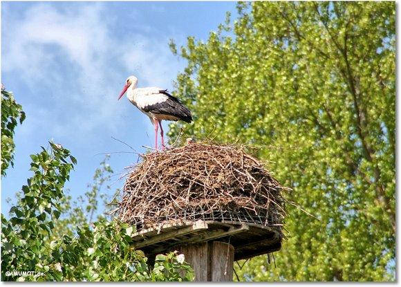 Storchen Nest am Rhein