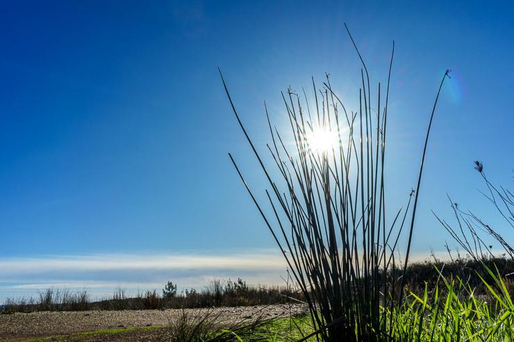 Sonnenstern im Gras