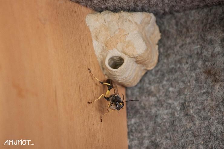 Töpferwespe mit Nest